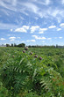 Campo di carciofi - Artichokes plants