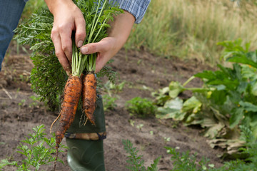 harvesting carrots in kitchen garden