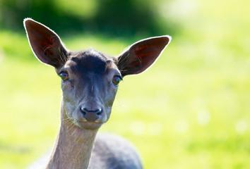 Young Fallow Deer Head backlit
