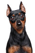 Miniature Pinscher dog