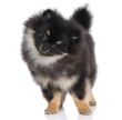 Miniature spitz puppy on white background