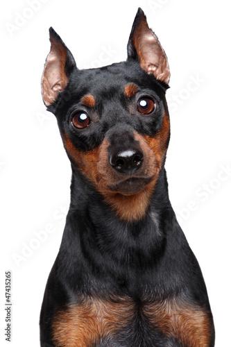 """Miniature Pinscher dog"""" Imagens e fotos de stock Royalty Free no"""