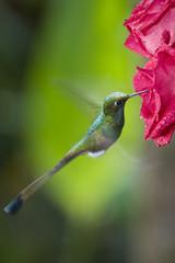 Booted Racket-tail Hummingbird - Ecuador