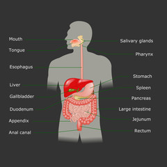 Human digestive system in vector