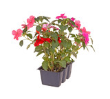 Pack of pink and red impatiens seedlings ready for transplanting poster
