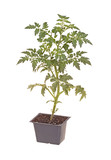 Cherry tomato seedling ready for transplanting poster