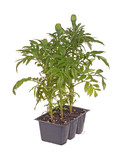Three marigold seedlings ready for transplanting poster