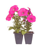 Pack of two pink-flowered petunia seedlings ready for transplant poster