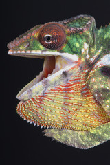 Agressive Chameleon / Furcifer pardalis