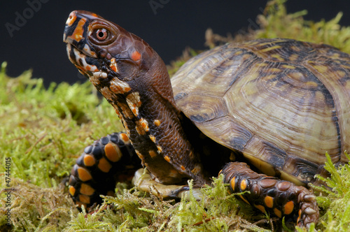 Box turtle / Terrapene carolina