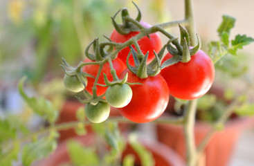 tomato branch with red and green tomatoes
