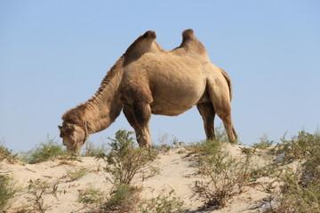camel, the ship of the desert (верблюд)