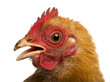 Close up of a dirty Crossbreed rooster, Pekin and Wyandotte