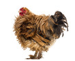 Side view of a Crossbreed rooster, Pekin and Wyandotte