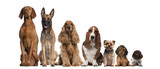 Fototapety Group of brown dogs sitting, from taller to smaller