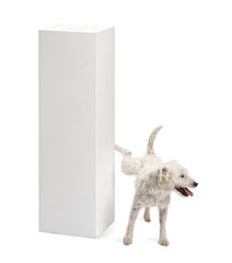 Parson Russell terrier urinating on a pedestal