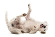 Parson Russell Terrier rolling over