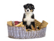 Australian Shepherd, 3 months old, sitting in dog bed