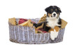 Australian Shepherd, 3 months old, lying in dog bed