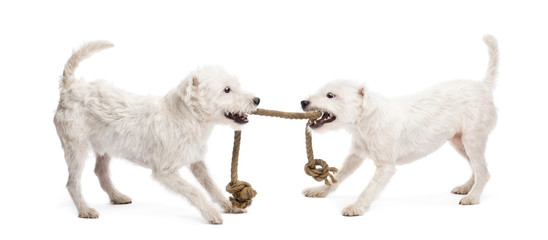 Parson Russell terriers playing with a rope