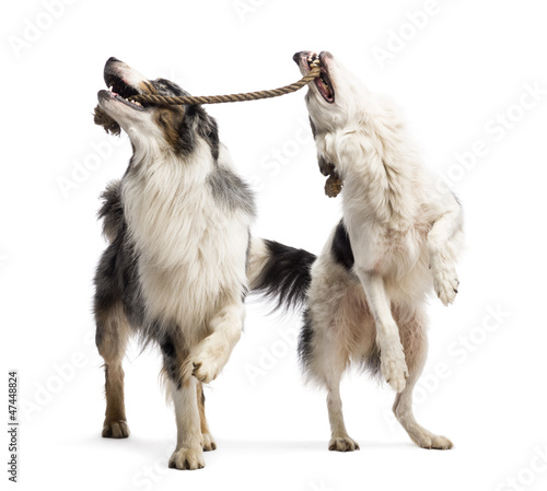 Border Collie and Australian Shepherd playing with a rope