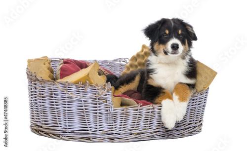 Australian Shepherd, 3 months old, lying in dog bed