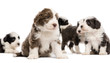 Bearded Collie puppies, 6 weeks old, sitting, lying and standing