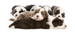 Bearded Collie puppies, 6 weeks old, lying