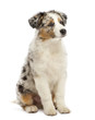Australian Shepherd puppy, 3 months old, sitting