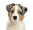 Close up of an Australian Shepherd puppy, 3 months old
