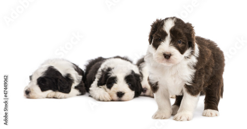 Bearded Collie puppy, 6 weeks old, standing