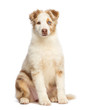 Australian Shepherd puppy, 3.5 months old, sitting