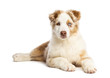 Australian Shepherd puppy, 3.5 months old