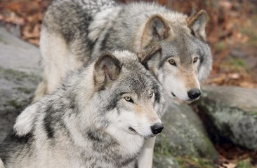 deux gros loup