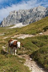 Mucca al pascolo, Altopiano Montasio, Friuli