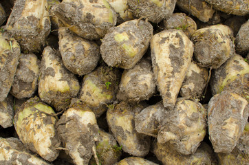 Closeup of sugar beets