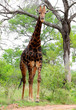 Giraffe in Kruger park South Africa
