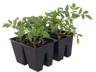 Tomato seedlings in containers