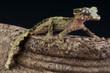 Cork-bark gecko / Uroplatus pietschmanni