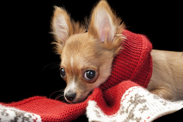 cute chihuahua puppy with nice red scarf