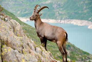 Wilder Gamsbock in alpiner Bergkulisse