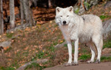 Arctic Wolf Looking at the Camera