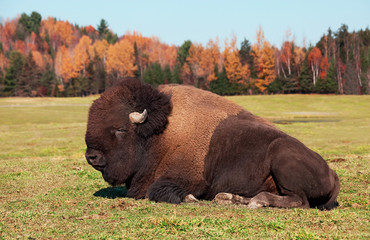 Bison also known as an American  Buffalo