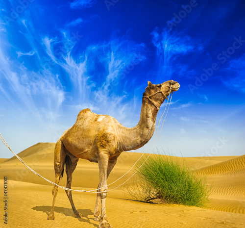 Desert landscape. Sand, camel and blue sky with clouds. Travel a