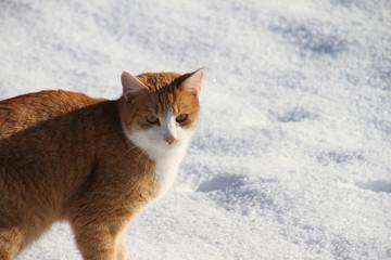 roter Katze im Schnee
