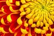 Yellow Dahlia Flower Isolated