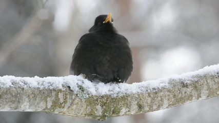 Blackbird drinks snow on tree