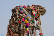 Camel at the Pushkar Fair ( Pushkar Camel Mela ), India