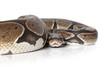 Python snake closeup