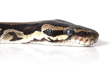 Portrait of Python snake closeup